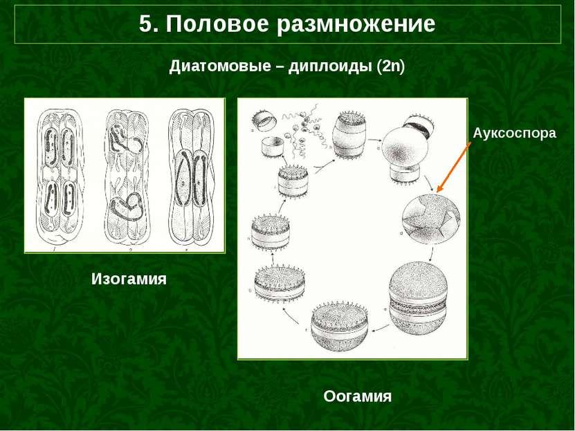 5. Половое размножение Диатомовые – диплоиды (2n) Оогамия Изогамия Ауксоспора