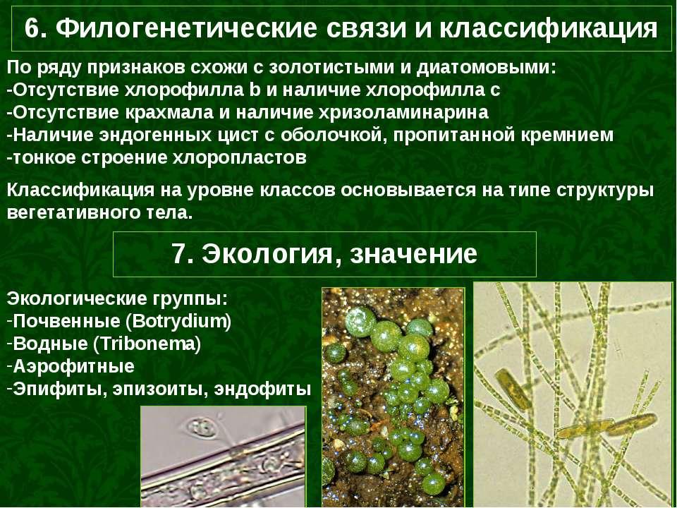 6. Филогенетические связи и классификация По ряду признаков схожи с золотисты...
