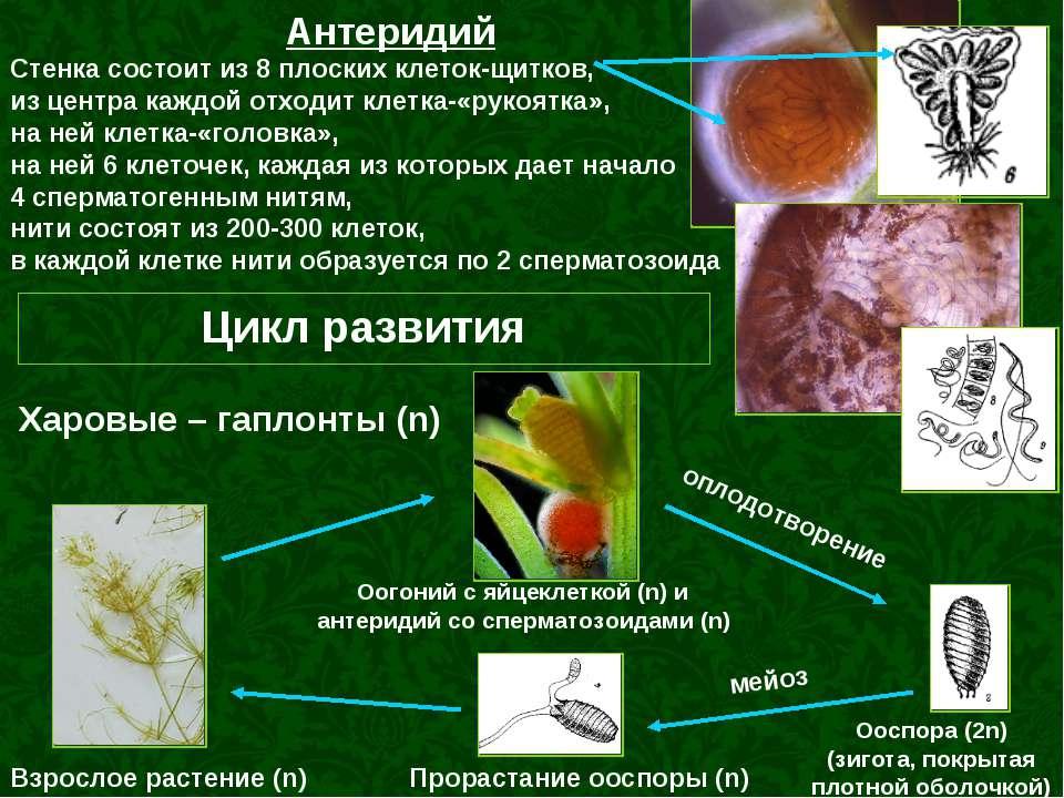 Антеридий Стенка состоит из 8 плоских клеток-щитков, из центра каждой отходит...