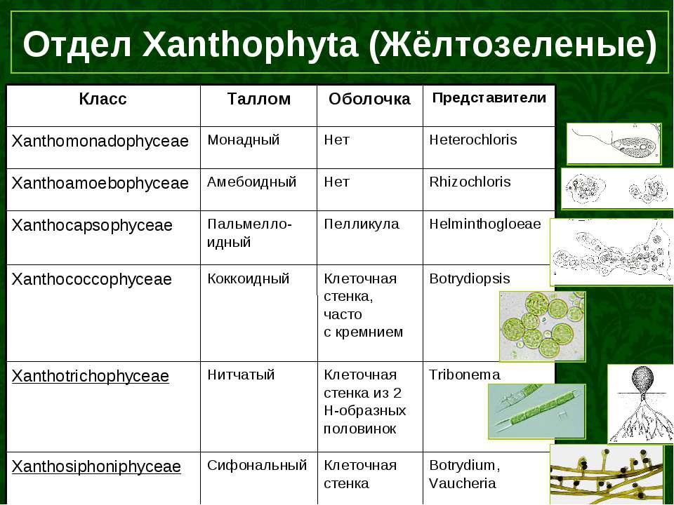 Отдел Xanthophyta (Жёлтозеленые)