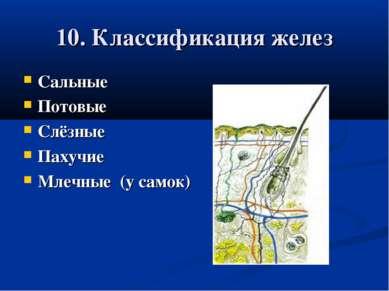 10. Классификация желез Сальные Потовые Слёзные Пахучие Млечные (у самок)