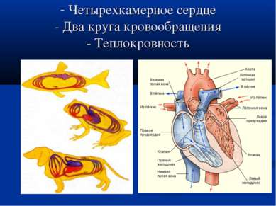 Четырехкамерное сердце - Два круга кровообращения - Теплокровность