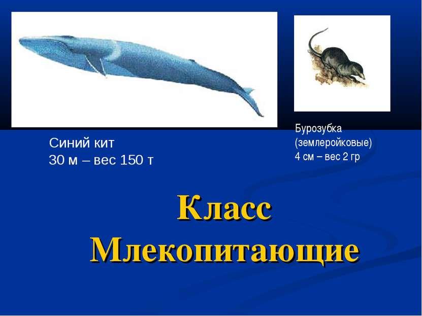 Класс Млекопитающие Синий кит 30 м – вес 150 т Бурозубка (землеройковые) 4 см...