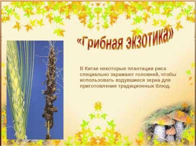 В Китае некоторые плантации риса специально заражают головней, чтобы использо...