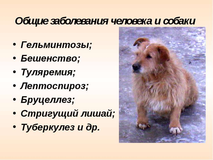 Общие заболевания человека и собаки Гельминтозы; Бешенство; Туляремия; Лептос...
