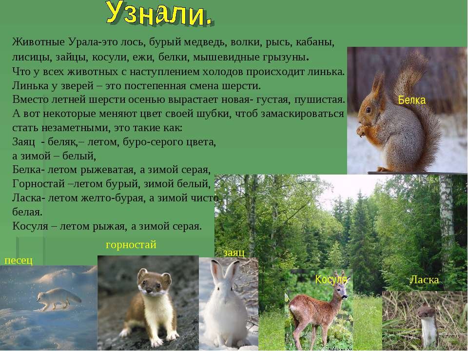Животные Урала-это лось, бурый медведь, волки, рысь, кабаны, лисицы, зайцы, к...