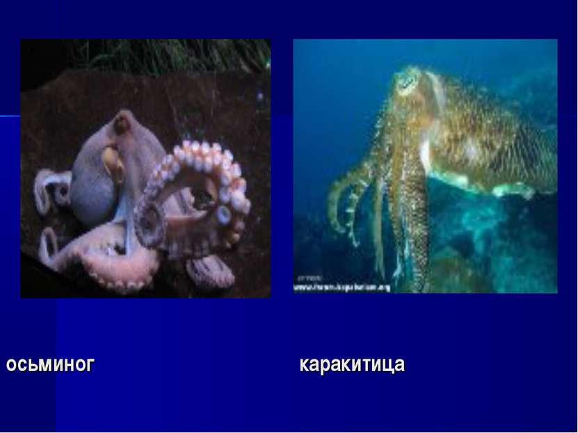 осьминог каракитица