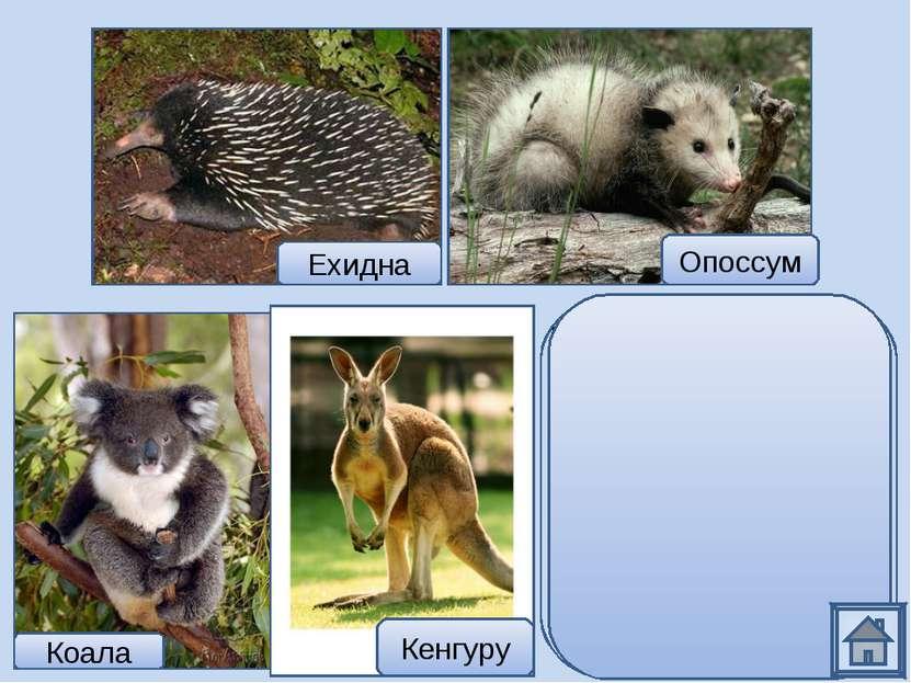 Ехидна относится к самым примитивным млекопитающим, которые откладывают яйца....