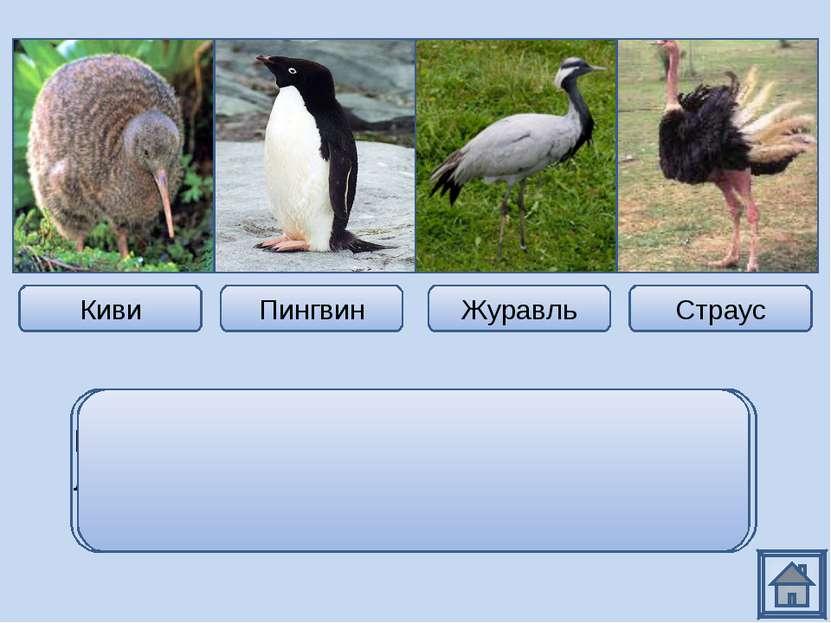Киви Пингвин Журавль Страус Из всех представителей только журавль летающая пт...