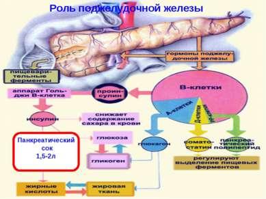 Роль поджелудочной железы Панкреатический сок 1,5-2л