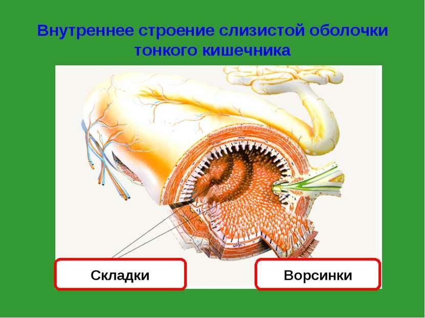 Внутреннее строение слизистой оболочки тонкого кишечника Ворсинки Складки