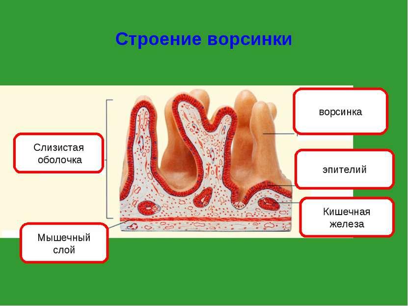 Строение ворсинки Слизистая оболочка Мышечный слой ворсинка эпителий Кишечная...