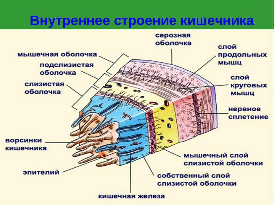 Внутреннее строение кишечника