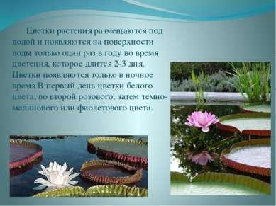 Цветки растения размещаются под водой и появляются на поверхности воды только...