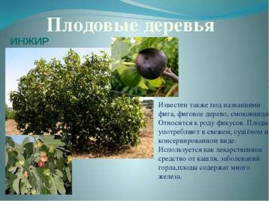 Плодовые деревья Известен также под названиями фига, фиговое дерево, смоковни...