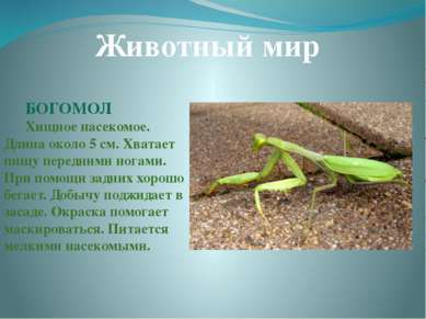 Животный мир БОГОМОЛ Хищное насекомое. Длина около 5 см. Хватает пищу передни...