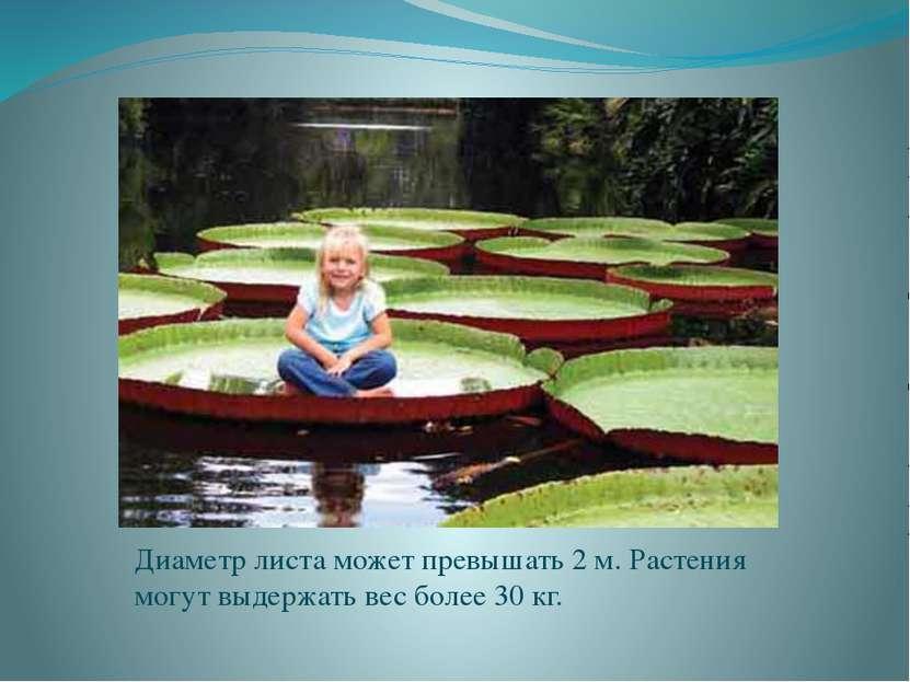Диаметр листа может превышать 2 м. Растения могут выдержать вес более 30 кг.