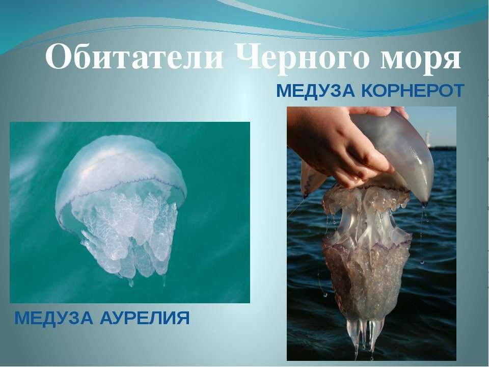 Обитатели Черного моря МЕДУЗА АУРЕЛИЯ МЕДУЗА КОРНЕРОТ