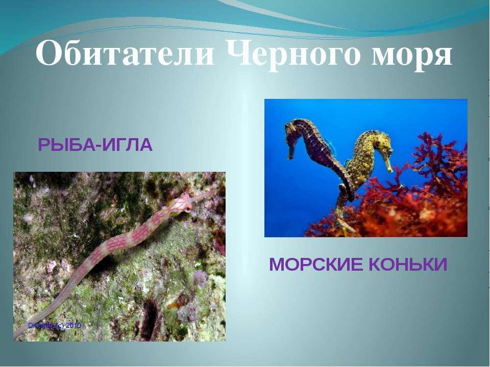 Обитатели Черного моря РЫБА-ИГЛА МОРСКИЕ КОНЬКИ
