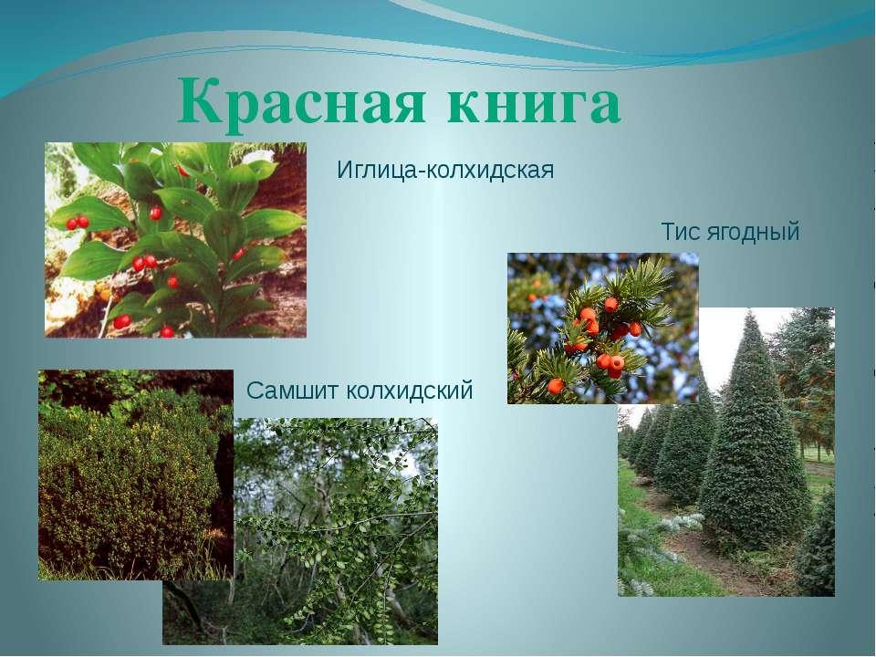 Красная книга Иглица-колхидская Тис ягодный Самшит колхидский