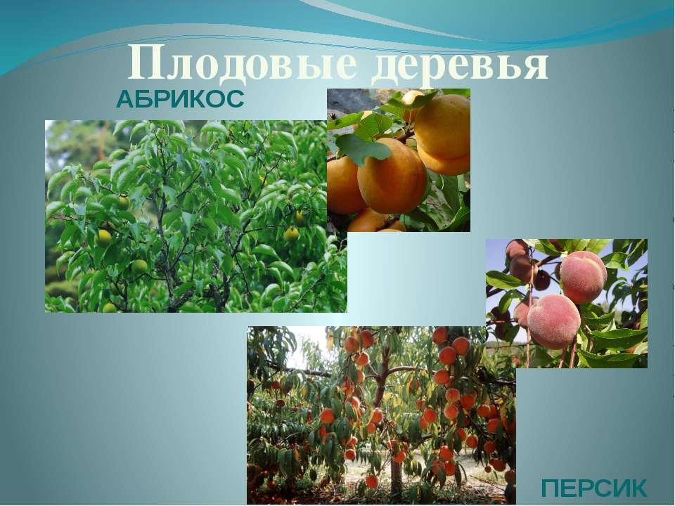 Плодовые деревья АБРИКОС ПЕРСИК