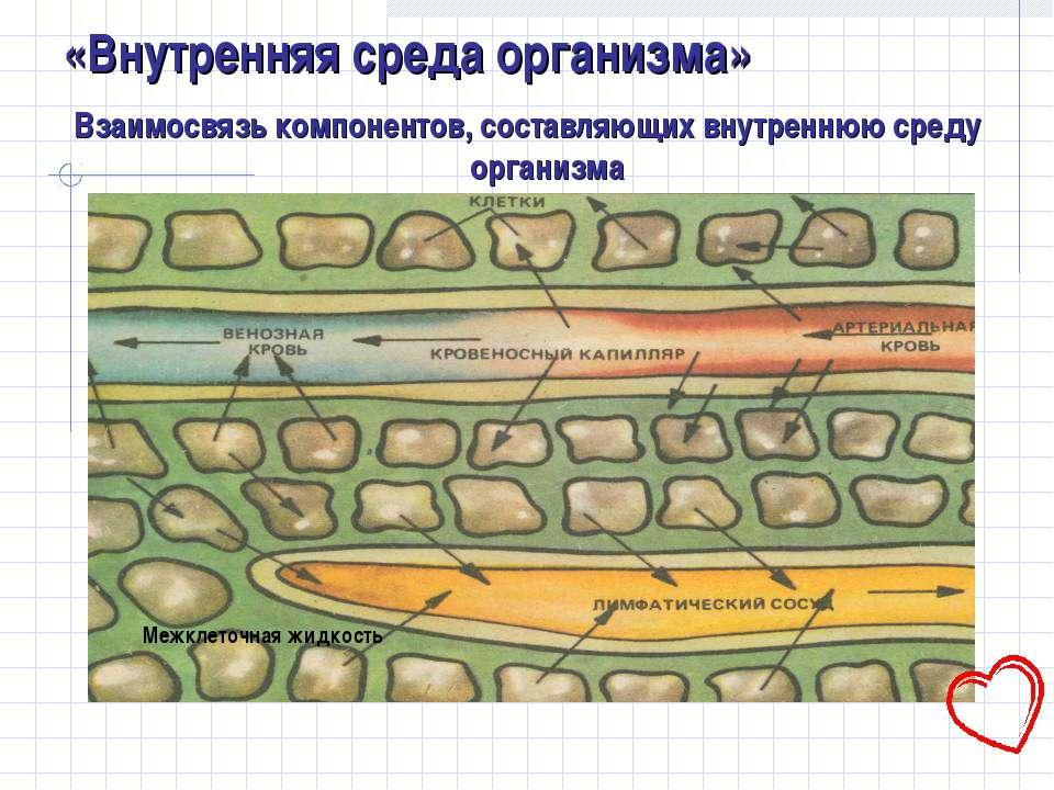 «Внутренняя среда организма» Взаимосвязь компонентов, составляющих внутреннюю...