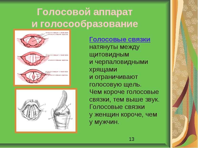 Голосовой аппарат и голосообразование Голосовые связки натянуты между щитовид...