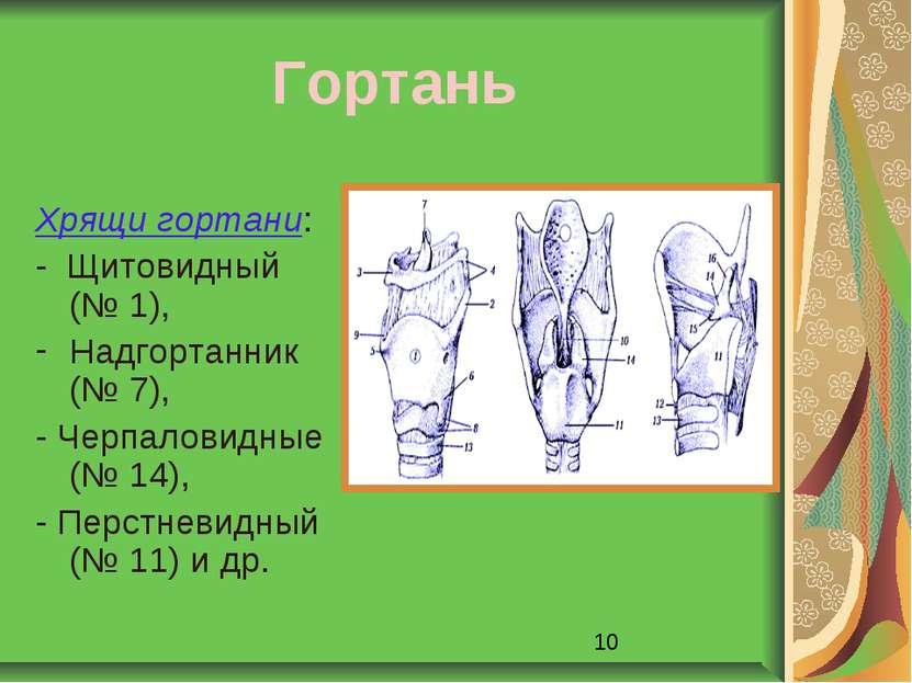 Гортань Хрящи гортани: - Щитовидный (№ 1), Надгортанник (№ 7), - Черпаловидны...