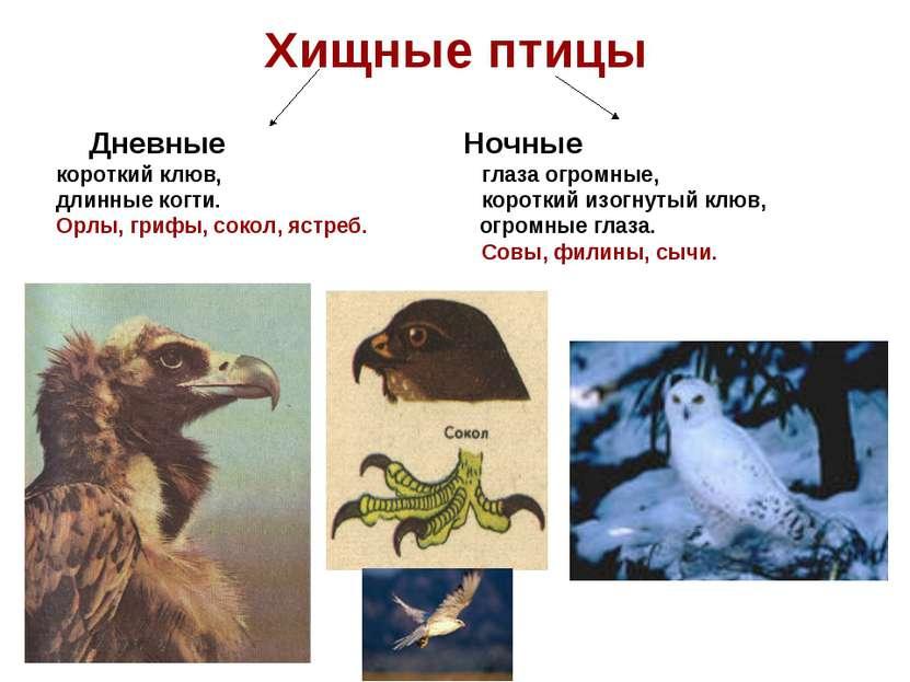 Хищные птицы Дневные Ночные короткий клюв, глаза огромные, длинные когти. кор...