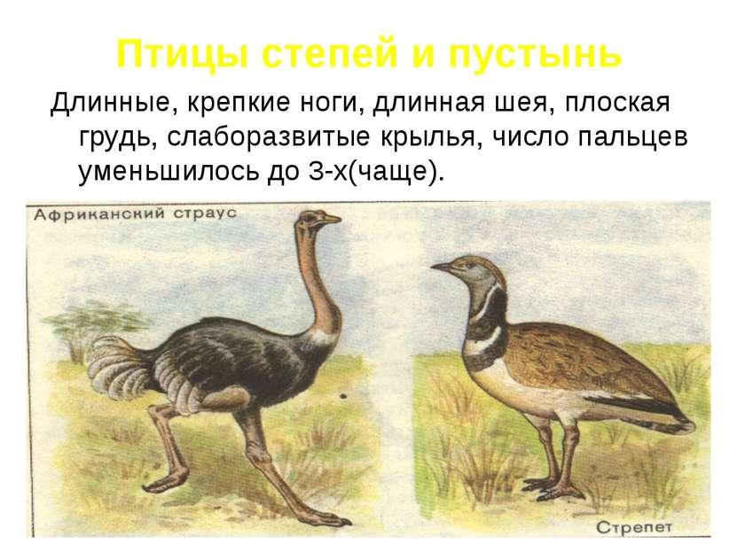 Птицы степей и пустынь Длинные, крепкие ноги, длинная шея, плоская грудь, сла...