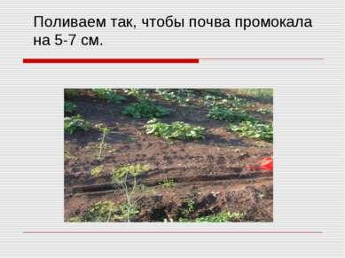Поливаем так, чтобы почва промокала на 5-7 см.