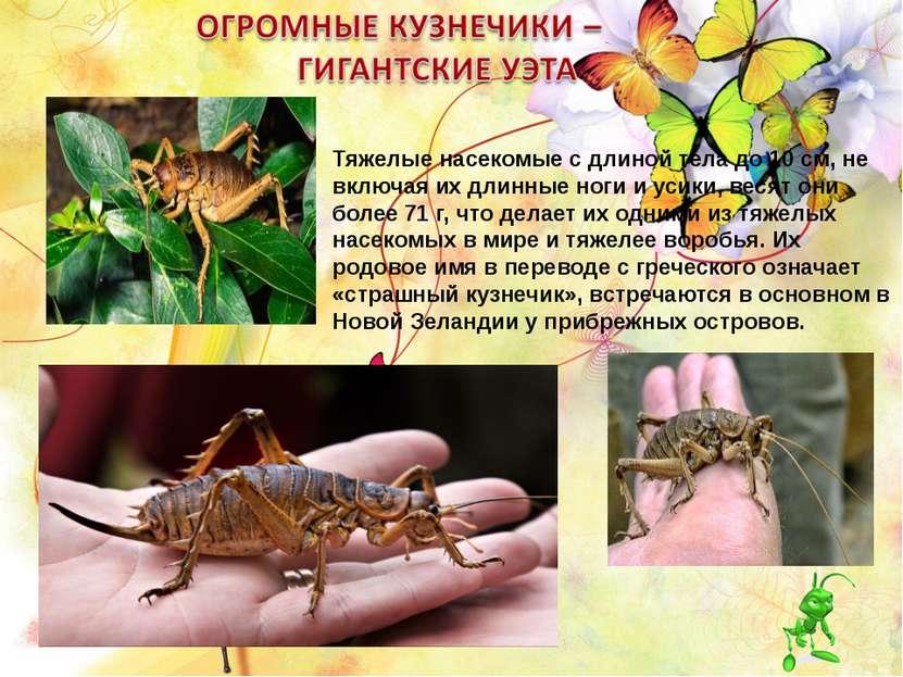 Тяжелые насекомые с длиной тела до 10 см, не включая их длинные ноги и усики,...