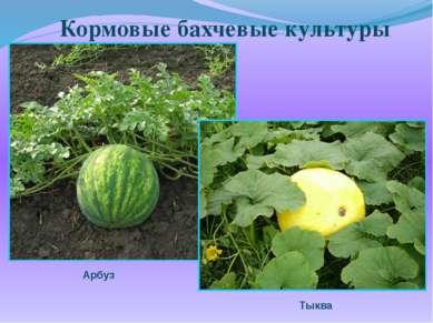 Кормовые бахчевые культуры Арбуз Тыква