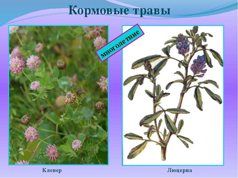Кормовые травы Клевер Люцерна многолетние