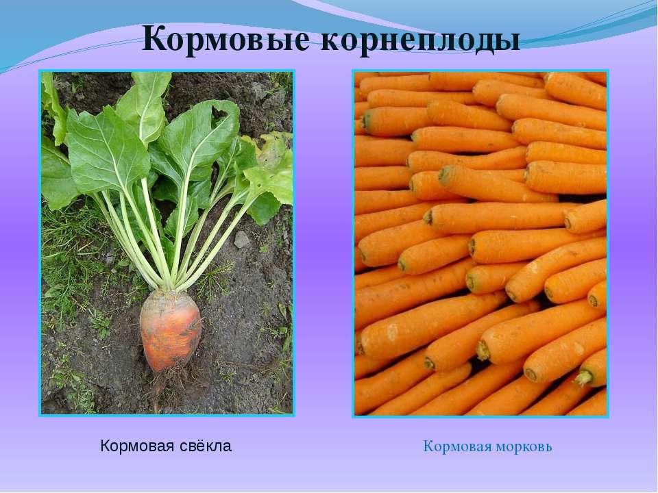 Кормовые корнеплоды Кормовая свёкла Кормовая морковь