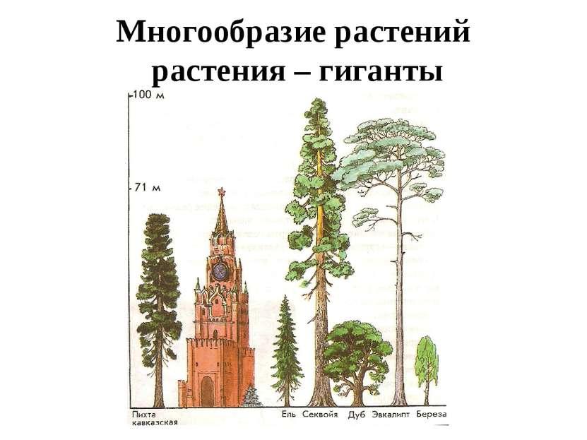 Многообразие растений растения – гиганты