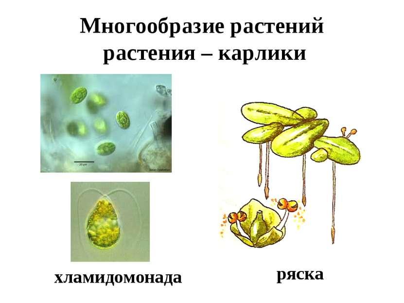 Многообразие растений растения – карлики ряска хламидомонада