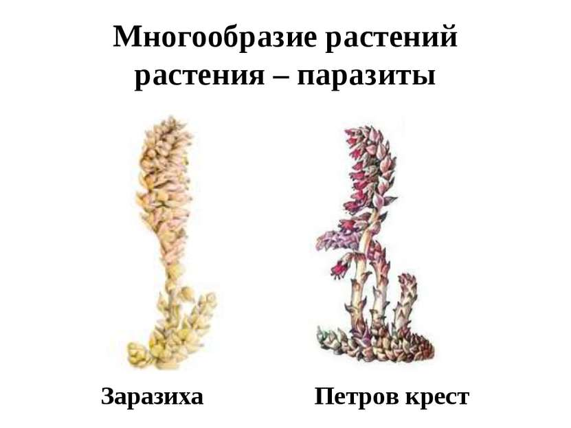 Многообразие растений растения – паразиты Заразиха Петров крест