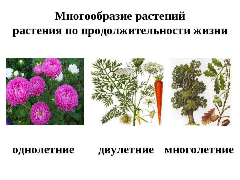 Многообразие растений растения по продолжительности жизни однолетние двулетни...