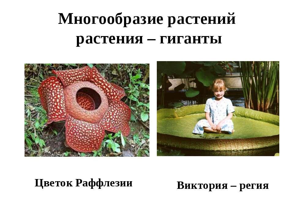Многообразие растений растения – гиганты Цветок Раффлезии Виктория – регия