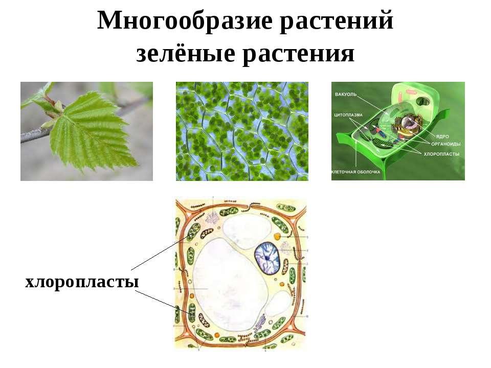 Многообразие растений зелёные растения хлоропласты
