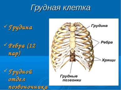Грудная клетка Грудина Ребра (12 пар) Грудной отдел позвоночника