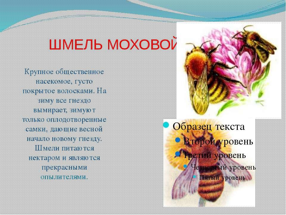 ШМЕЛЬ МОХОВОЙ Крупное общественное насекомое, густо покрытое волосками. На зи...