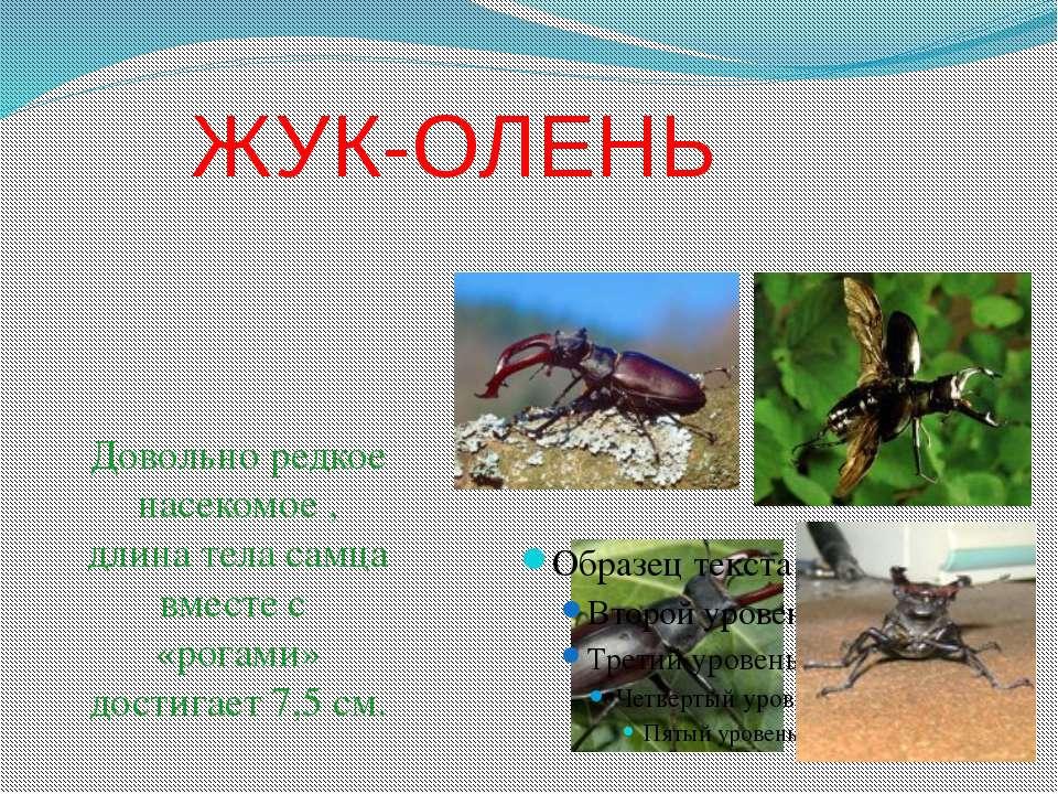 ЖУК-ОЛЕНЬ Довольно редкое насекомое , длина тела самца вместе с «рогами» дост...