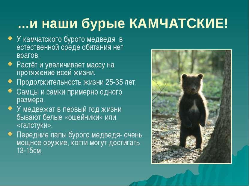 ...и наши бурые КАМЧАТСКИЕ! У камчатского бурого медведя в естественной среде...