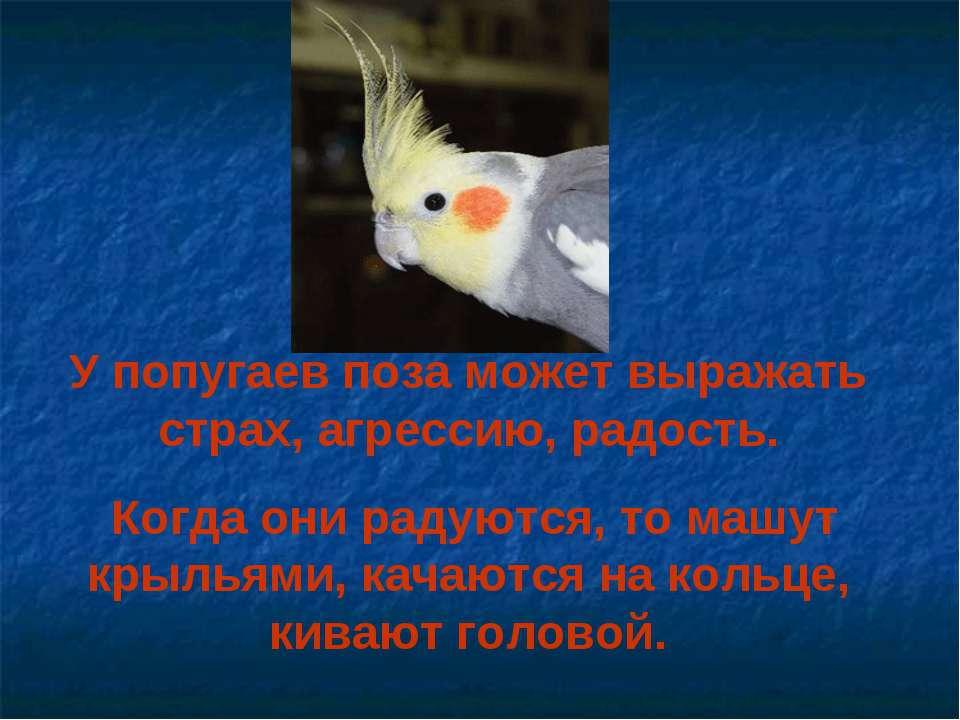 У попугаев поза может выражать страх, агрессию, радость. Когда они радуются, ...