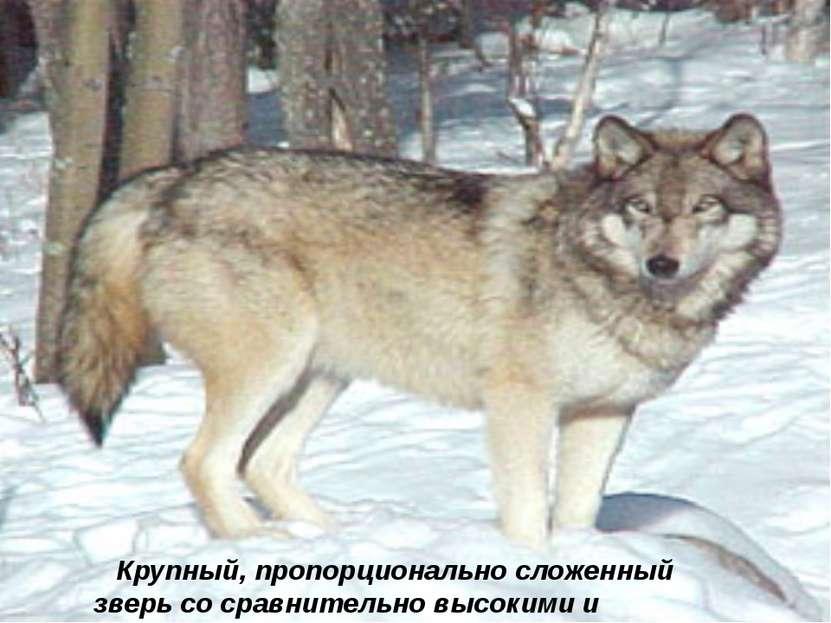 Крупный, пропорционально сложенный зверь со сравнительно высокими и сильными ...