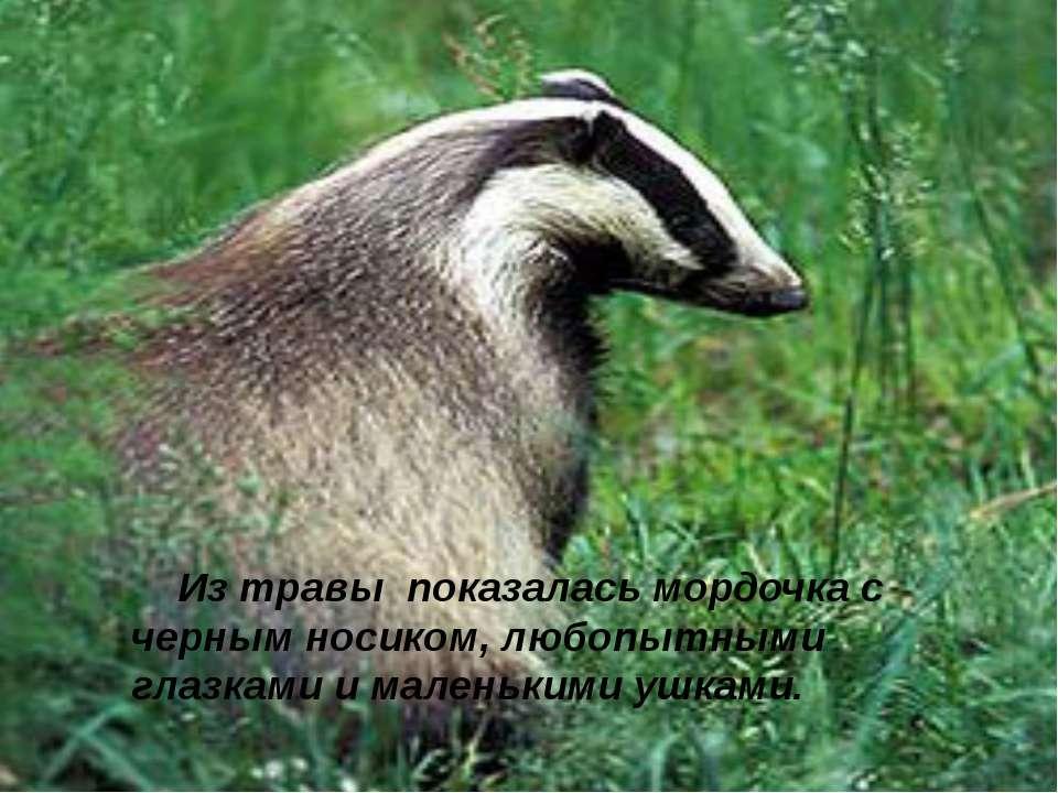 Из травы показалась мордочка с черным носиком, любопытными глазками и маленьк...