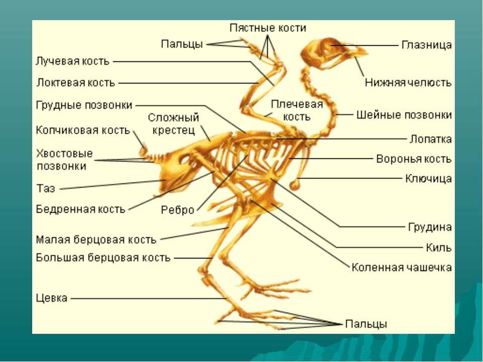 выбору термобелья отделы скелета у птиц термобелья, изготовленная уникальной