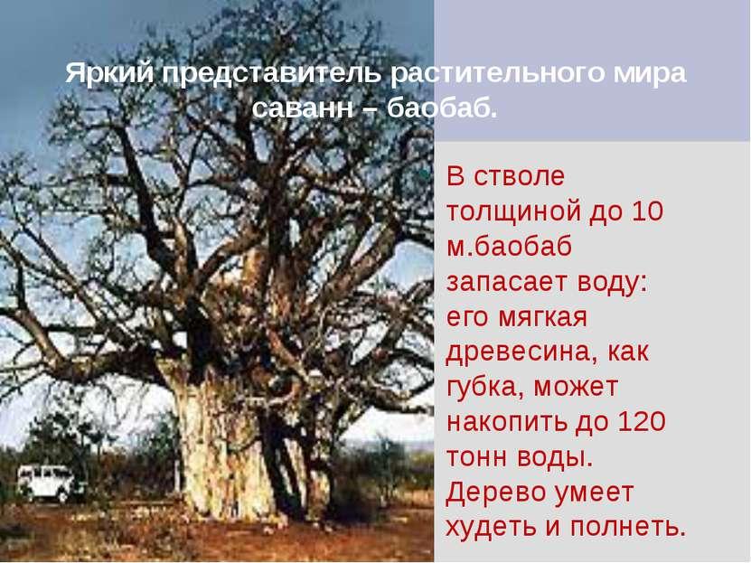 Яркий представитель растительного мира саванн – баобаб. В стволе толщиной до ...